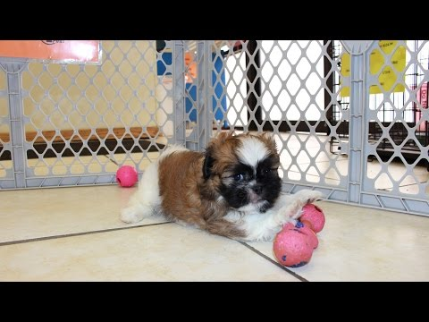 Shih Tzu, Puppies For Sale, In Mobile, County, Alabama, AL, 19Breeders, Tuscaloosa, Decatur
