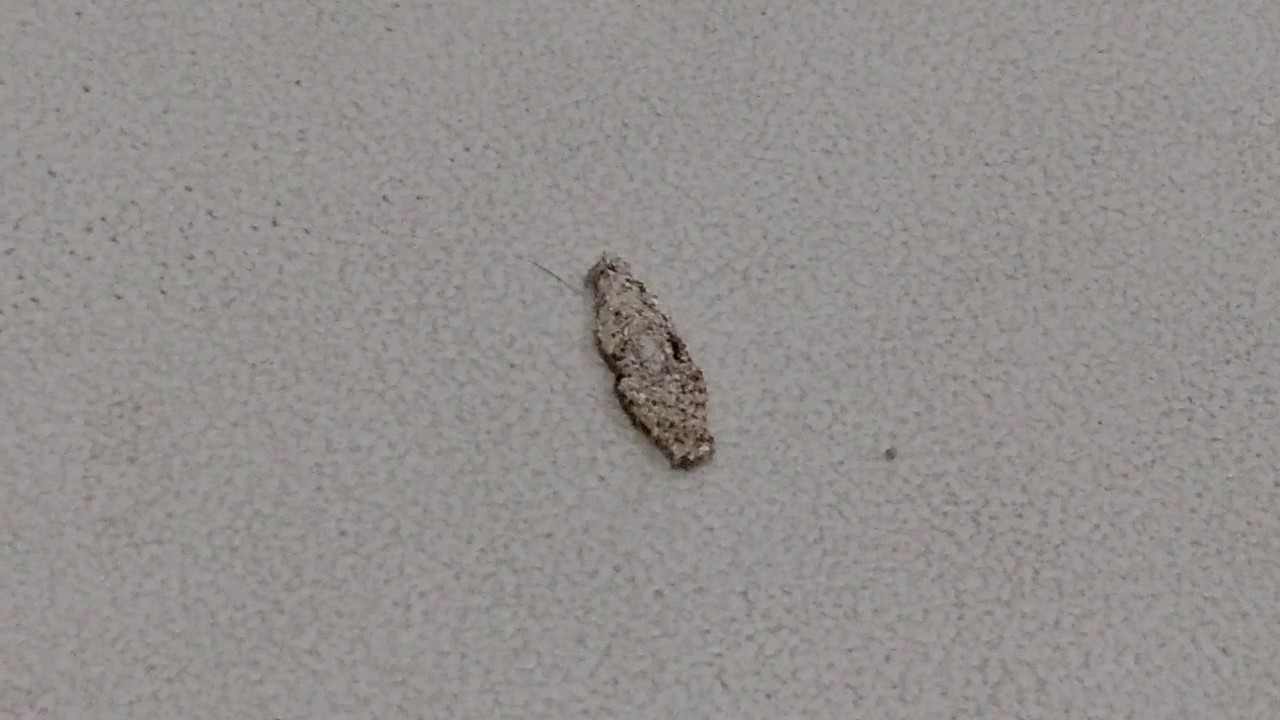 Cocoon Of Clothes Moth Youtube