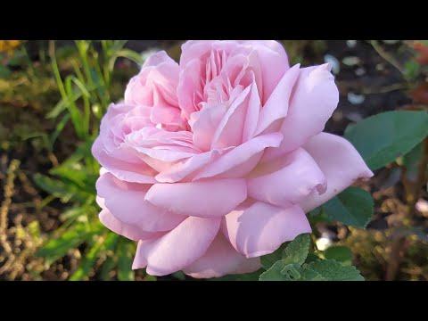 Вопрос: Какие характеристики чайно- гибридной розы Акварель shy?