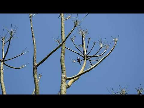 Falcão-peregrino aparece no Residencial Vale das Nogueira e Americana SP