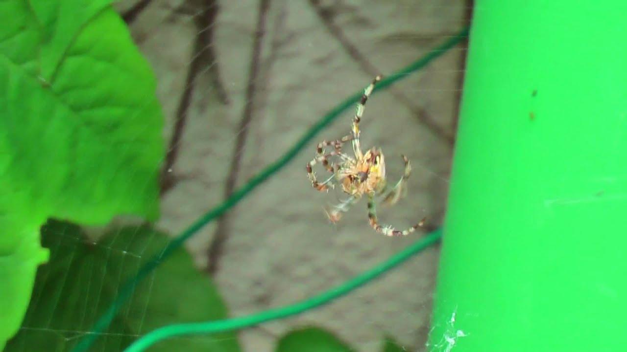 comment l araign 233 e fait la spirale de sa toile