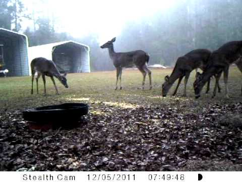 TURKEY INVASION AT OUR DEER FEEDING STATION !!