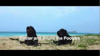 Baxter And Bruno The Poogles At The Beach With Balanced Obedience Dog Training Hawaii