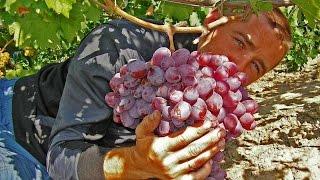 Виноград Граф Монте Кристо, виноград Полтавщины