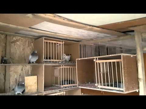My homing pigeons, hail 2016-04-19