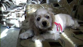 щенок американского кокер спаниеля продам  тел0676878135