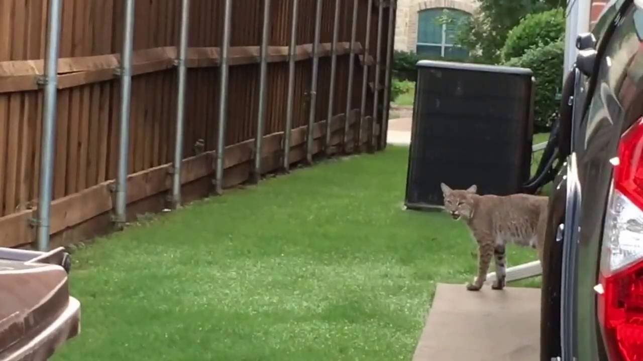 Hide And Seek With A Bobcat On Valleen In Plano June 2016