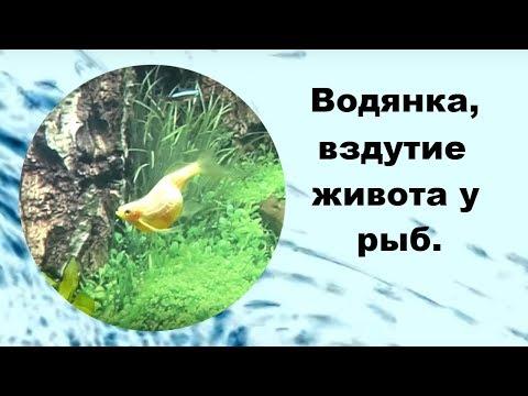 Водянка, вздутие живота у рыб.