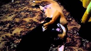 стафорд  первий бой(Полтора месеца щенок., 2015-02-10T18:20:35.000Z)