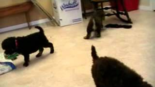 Akc Standard Poodle Puppies For Sale Michigan Ohio Indiana