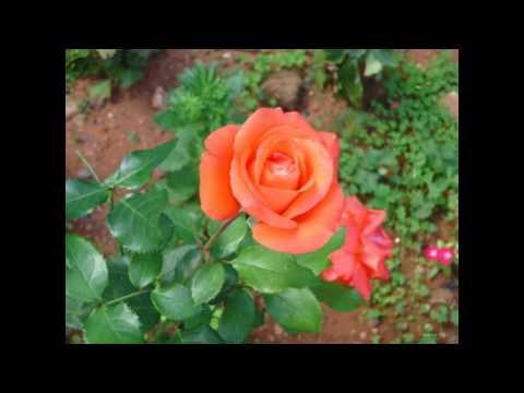 Red Rose Wallpaper Full Size