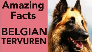 Belgian Tervuren Amazing Facts   ADUSAT Infotech #Shorts#belgiantervuren#dogs#dog#pet#pets