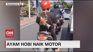 Ayam dan Anjing Hobi Naik Motor