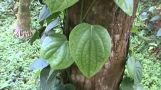കുരുമുളക് ചെടിയുടെ വളപ്രയോഗം Black Pepper Plant fertilization Tips