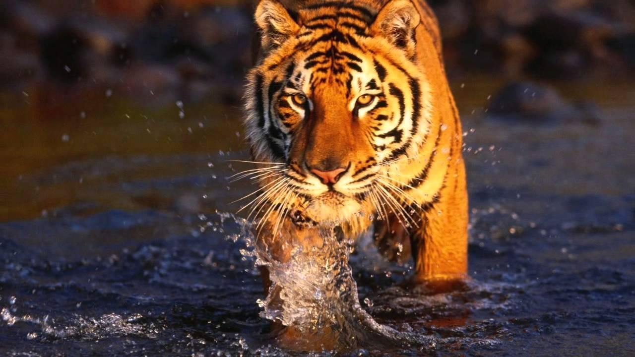 Играть бесплатно в Untamed - Bengal Tiger в Slot V онлайн без депозита и регистрации может каждый! Просто заходите!