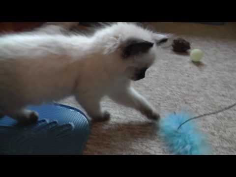 Bringing Ragdoll kitten home