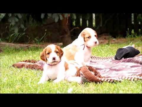 Irish Red and White Setter puppies - litter K Shadow Dog