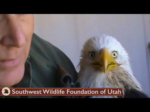 Feeding critically ill Bald Eagle March 26 2013