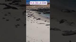 샌디에고 바다표범의 천국 라호야코브 (미국서부여행/ 물…