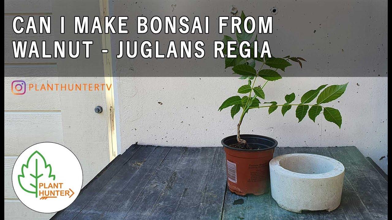 Can I Make Bonsai From Juglans Regia Walnut Planthuntertv Youtube