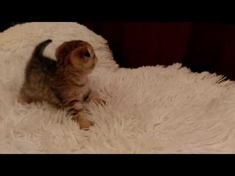 Кошка Википедия