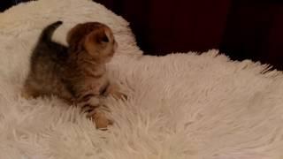 Шотландская кошка. Золотая шиншилла