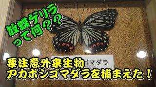 【PR】要注意外来生物アカボシゴマダラを捕まえた!