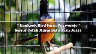 TERNAK BURUNG : Hankook Bird Farm Purworejo Serius Cetak Murai Batu Trah Juara