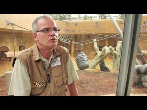 Gorillababy Anandi im Erlebnis-Zoo Hannover
