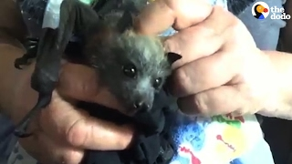 Rescued Baby Bat Is Learning How To Be Wild | The Dodo