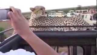 Большая дикая кошка  гепард общается с людьми.