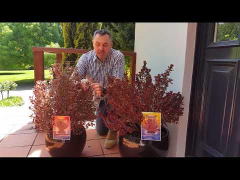 Plant Profile: Coprosma Pacific™ Sunrise