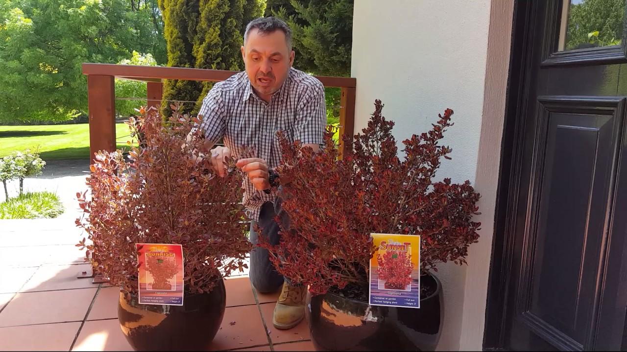 Coprosma /'Inferno/' good sized plant 3L pot