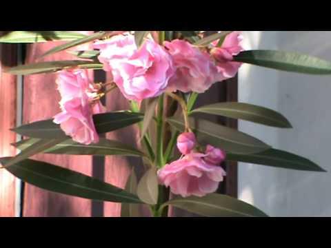 Цветок олеандр: выращивание и уход в домашних условиях.Розовый лавр