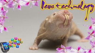 News Techcology -  WHY ARE SCIENTISTS INTERESTED IN THE NAKED MOLE RAT?