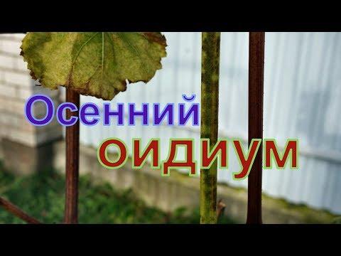 Виноград . Осенний оидиум . Как распознать .