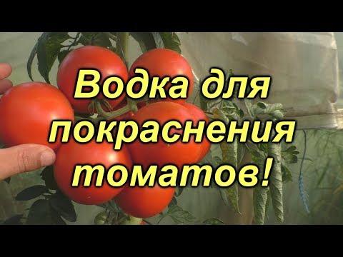 Красим водкой зелёные помидоры!