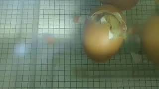 Time Lapse of Chick Hatching at Wagner Preschool