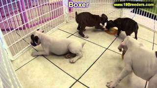 Boxer, Puppies, For, Sale, In, Hartford, Connecticut, County, CT, Fairfield, Litchfield, Middlesex,
