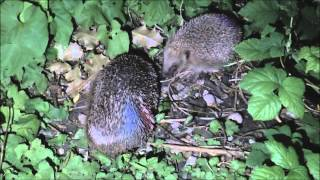 Western Hedgehogs Erinaceus europaeus exhibiting courtship behaviour