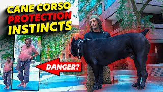 Cane Corso PROTECTION Instincts IN ACTION!