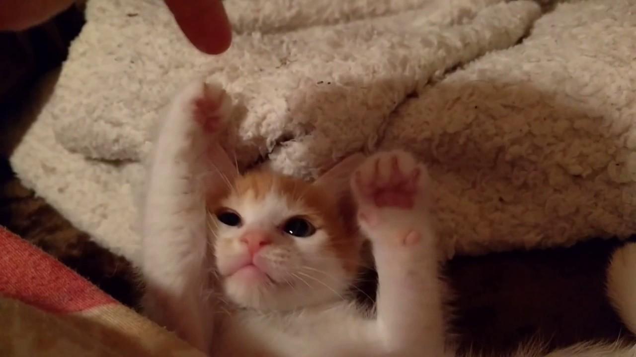 【衝撃可愛さ】飼い主とじゃれる子猫