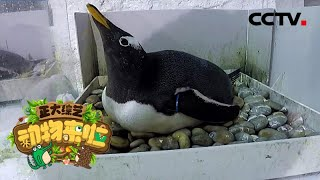 [正大综艺·动物来啦]雄性巴布亚企鹅不会帮忙孵蛋| CCTV
