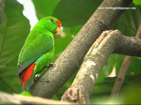 parrot | | :: Birding Adventure Philippines | Guided