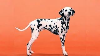 Chó Đốm Dalmatian Và Ưu Nhược Điểm