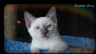 """Питомник тайских кошек """"SharmelThai"""" litter """"В"""""""