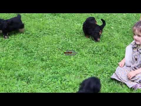 Australian Shepherd Mix Puppies For Sale
