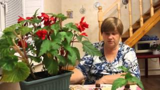 Секрет укоренения комнатных растений. Бегония.(Укоренение комнатных растений.Уход и черенкование бегонии., 2014-09-11T20:34:30.000Z)