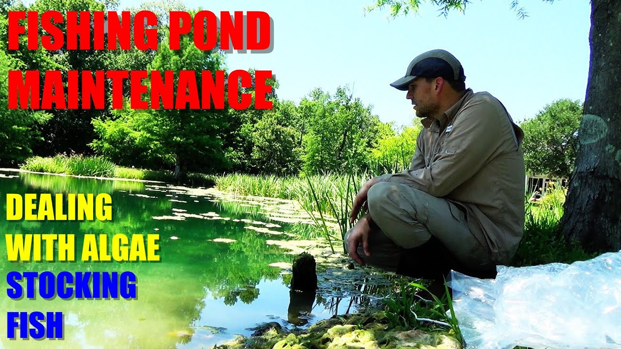 Fishing pond maintenance pond algae control and fish for Koi pond algae control