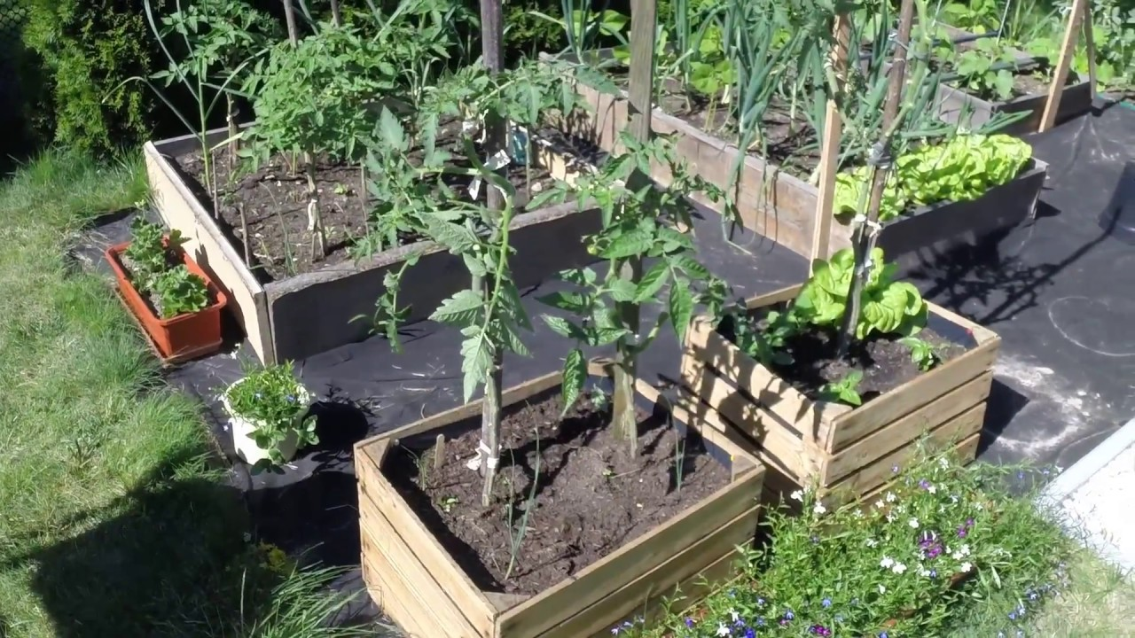 Cultivation Of Tomatoes In Apple Boxes Part2